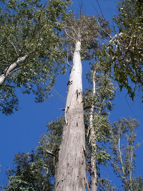 eucaliptus - 001.JPG