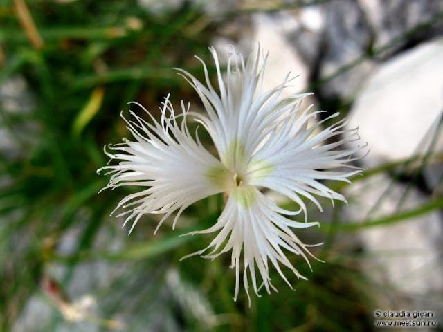 flori de munte: garofiţe albe de stâncă, Barba Ungurului