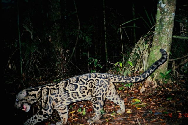Clouded leopards are arboreal cats, meaning they spend a lot of time in the trees. But when they take to the ground they can be snapped by camera traps, like this one in Sumatra. Photo: Wai-Ming Wong