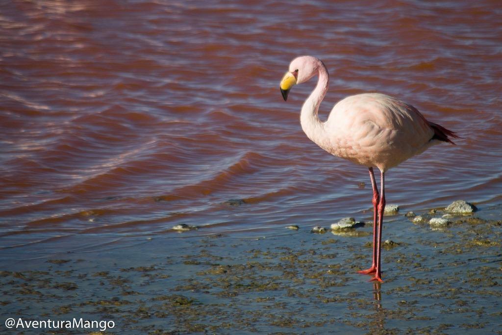 [Flamingo+na+Lagoa+Colorada%5B4%5D]