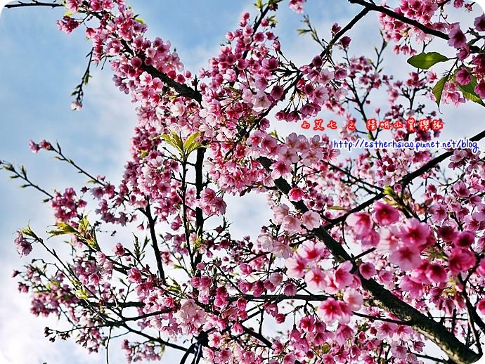 67 平菁街42巷櫻花樹