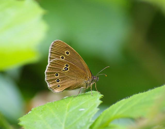 Aphantopus hyperantus LINNAEUS, 1758, femelle, en forêt. Les Hautes-Lisières, 10 juillet 2009. Photo : J.-M. Gayman