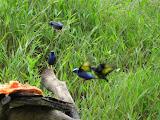Photo: #006-Les oiseaux tropicaux