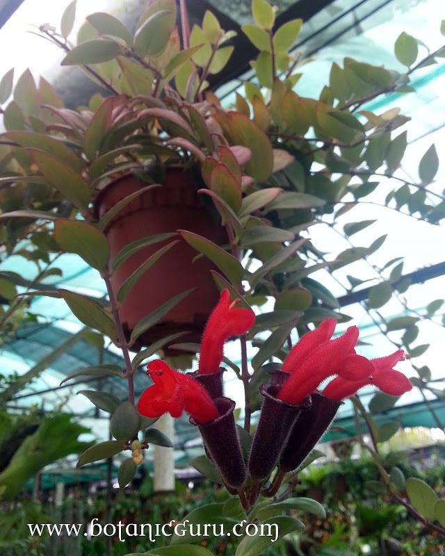Aeschynanthus pulcher, Lipstick Flower