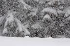 DOS GRIS   hermine sous les chutes de neige d'un mois d'Avril