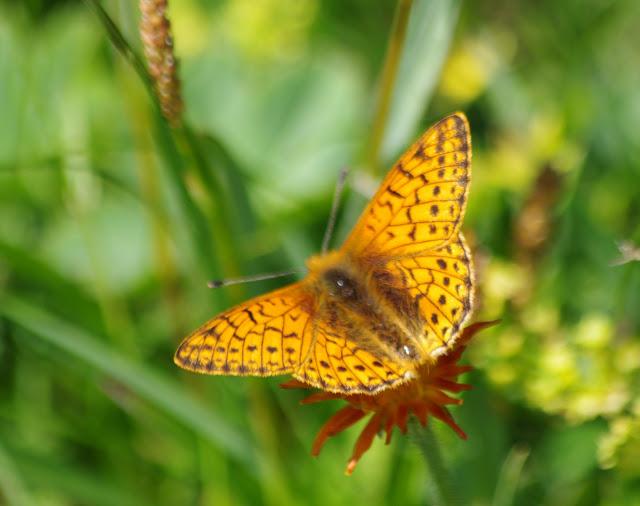 Boloria pales palustris FRUHSTORFER, 1909, mâle. Fex Crasta, 2000 m (Engadine, Grisons, CH), 14 juillet 2013. Photo : J.-M. Gayman