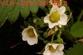 fleurs de fraisier1.jpg