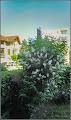 Photo: Deutia (Deutzia scabra) - de pe Calea Victoriei, Mr.3 spatiu verde - 2017.06.07 Album: http://ana-maria-catalina.blogspot.ro/2017/06/deutia-deutzia-scabra.html