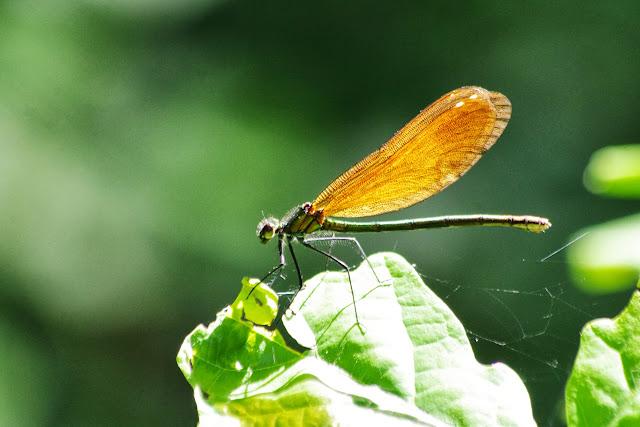 Calopteryx virgo (L., 1758). Les Hautes-Lisières (Rouvres, 28), 7 juin 2013. Photo : J.-M. Gayman