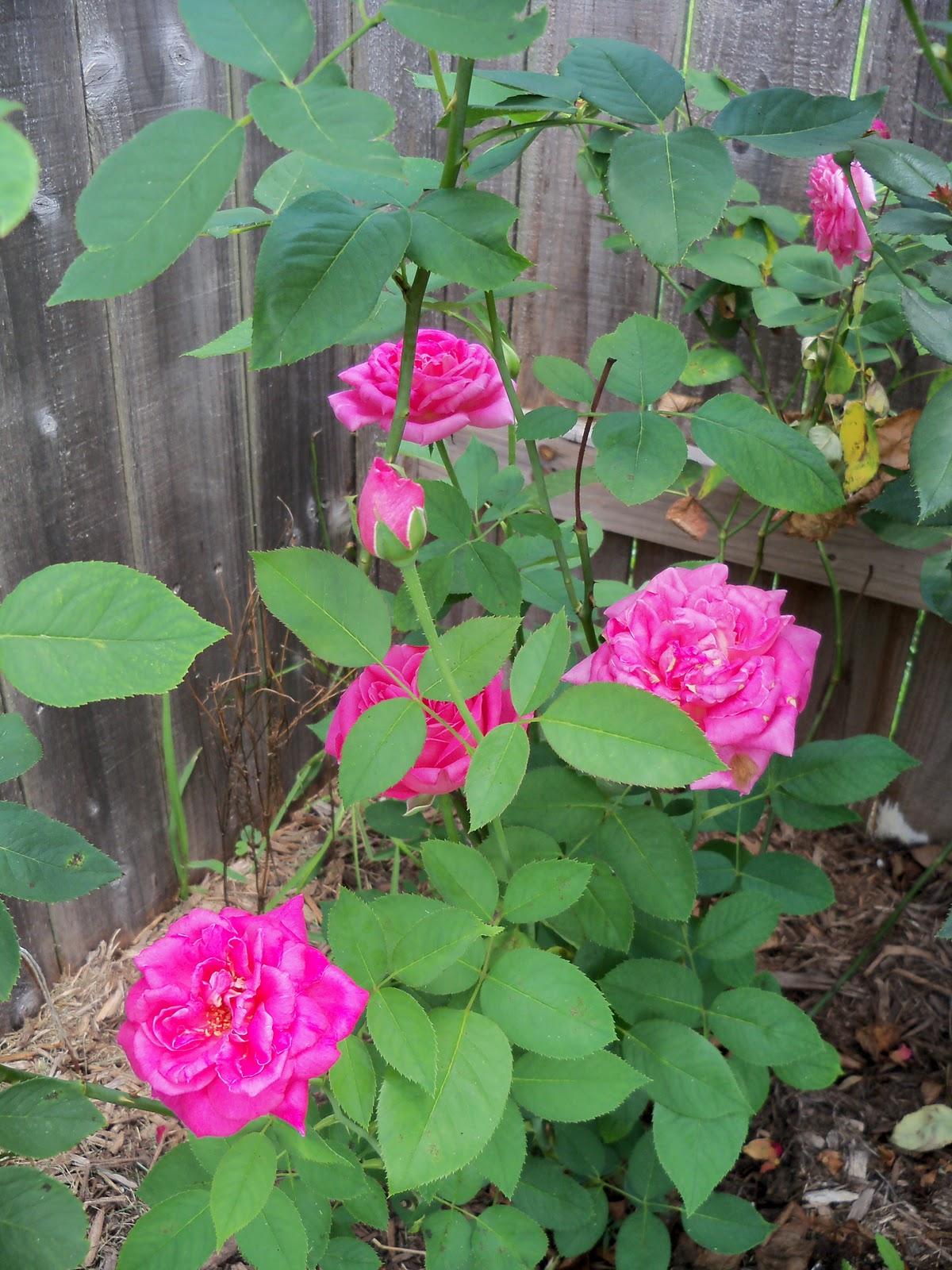 Gardening 2010, Part Three - 101_4875.JPG