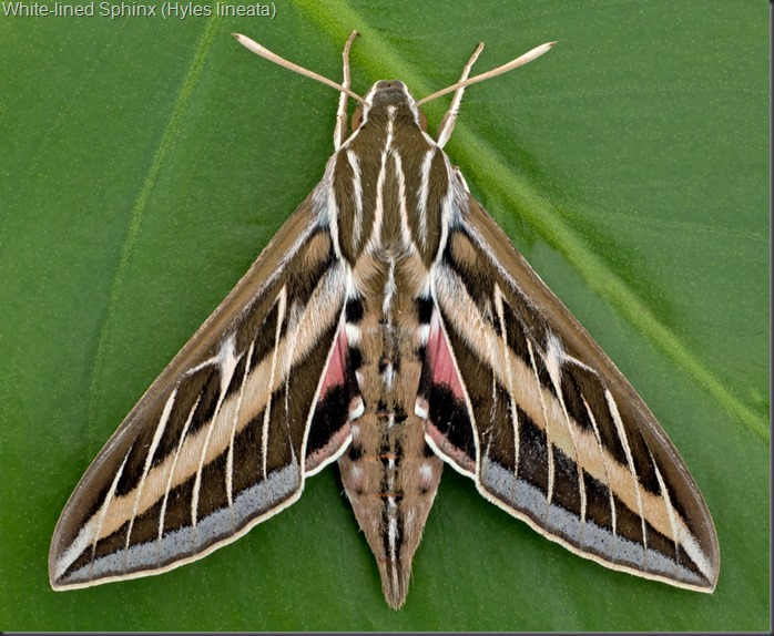 White-lined-Sphinx1