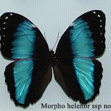 MorphoHelenorLacommei