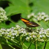 Adelpha cytherea daguana Fruhstorfer, 1913. Quebrada près de Guabal, 300 m (Veraguas, Panamá), 29 octobre 2014. Photo : J.-M. Gayman