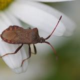 Heteroptera : Coreidae : Coreus marginatus (LINNAEUS, 1758). Les Hautes-Lisières (Rouvres, 28), 11 juin 2012. Photo : J.-M. Gayman