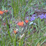 Indian paintbrush (orange)
