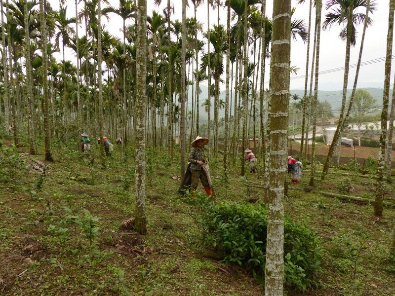 Puli, Nantou county, cueillette de thé - P1050598.JPG