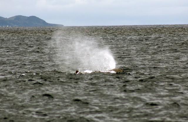 Esses magnificos Cetacios -  Cachalotes - Golfinhos etc IMG_3382