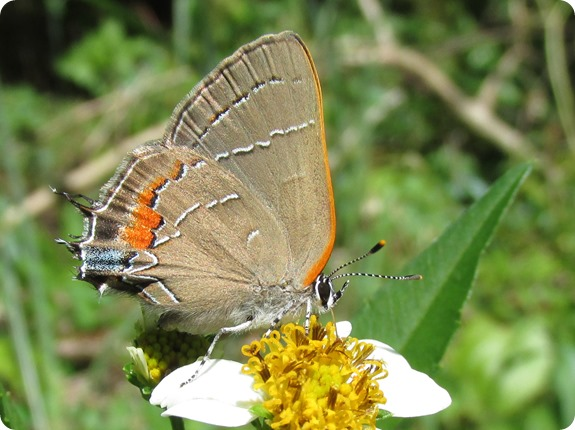 9 Oak Hairstreak Satyrium favonius Butterfly