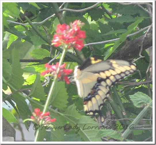 10-27-giant-swallowtail3