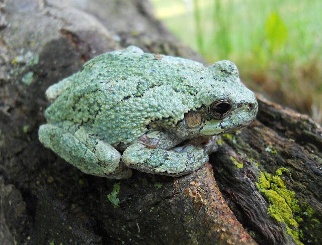 Gray Treefrog (green coloration)