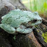 Gray Treefrog (green coloration)