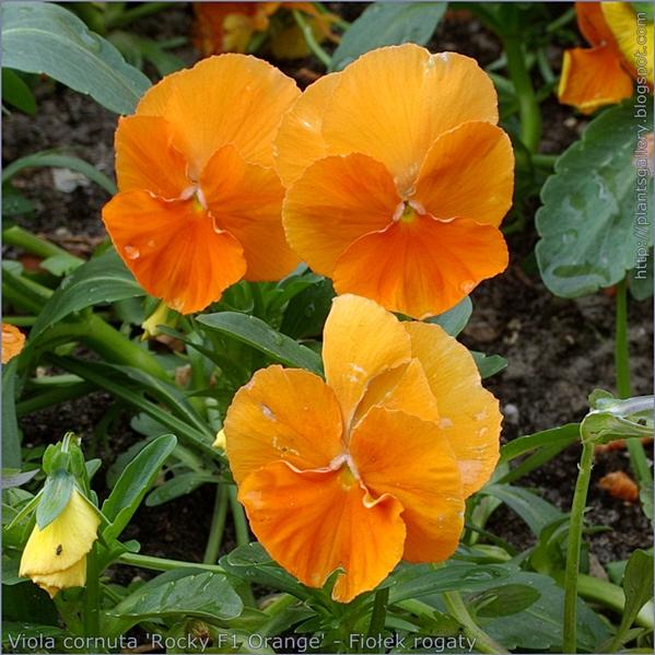 Viola cornuta 'Rocky F1 Orange' flower - Fiołek rogaty kwiaty