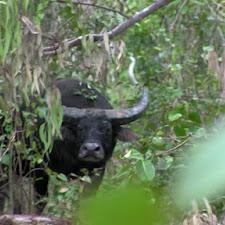 p_2015 The Waterhole Bull_A 2nd Look.jpg