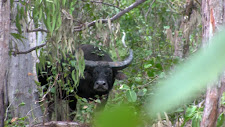 p_2015 The Waterhole Bull_A 2nd Look.jpg