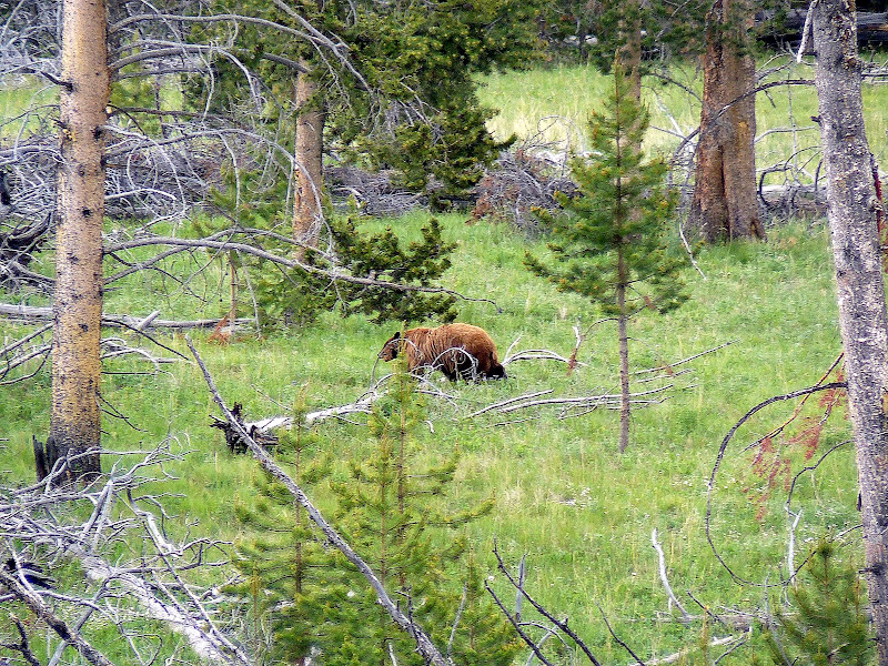 grizzly in zona monte Washburn