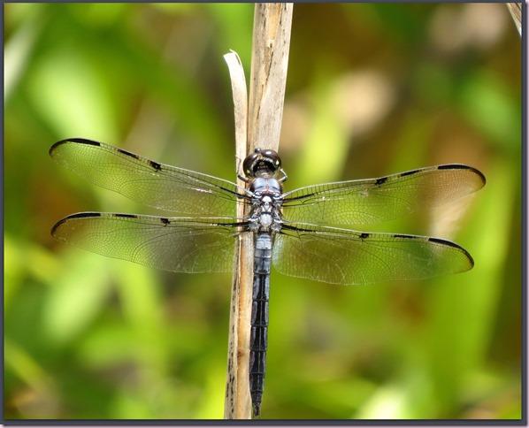 dragonflyIMG_0668