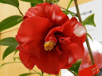 紅色地 白色横杢斑入り 八重咲き 大輪