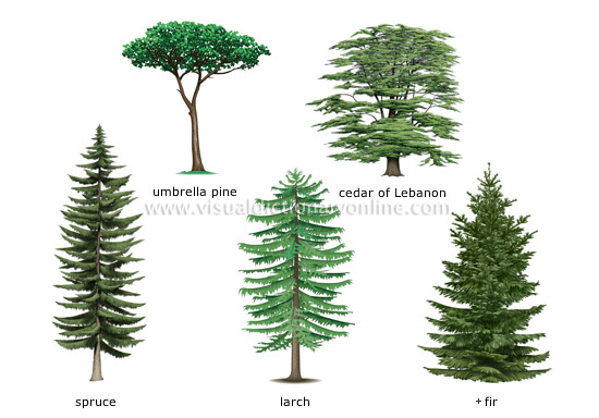 Amazing things with plants conifers for Types of trees and their meanings