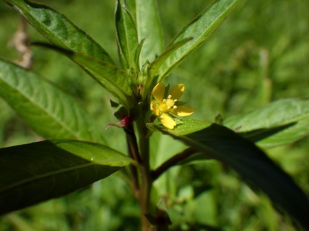 チョウジタデの5弁の花