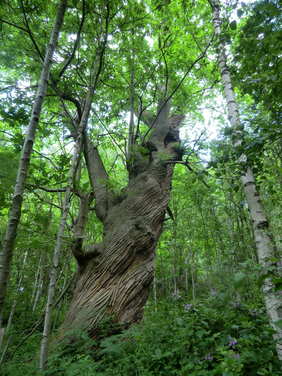 CIMG8402 Ancient sweet chestnut on the Greensand Way