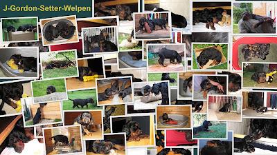 http://www.kemtins-black.de/home/wuerfe/j-gordon-setter-welpen