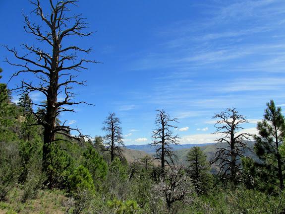 Dead ponderosa pines
