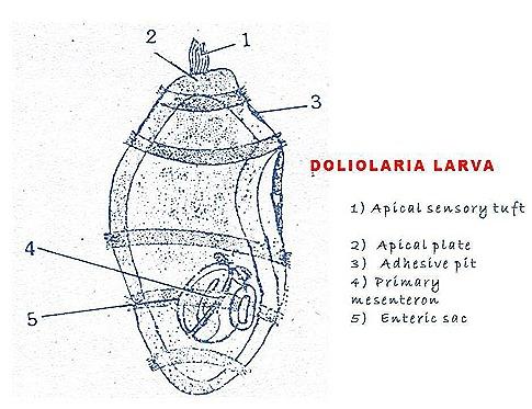 doliolaria larva