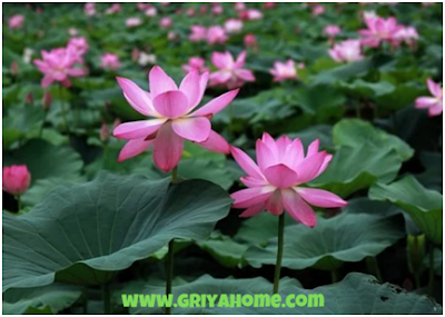 Lotus (Nelumbo sp)