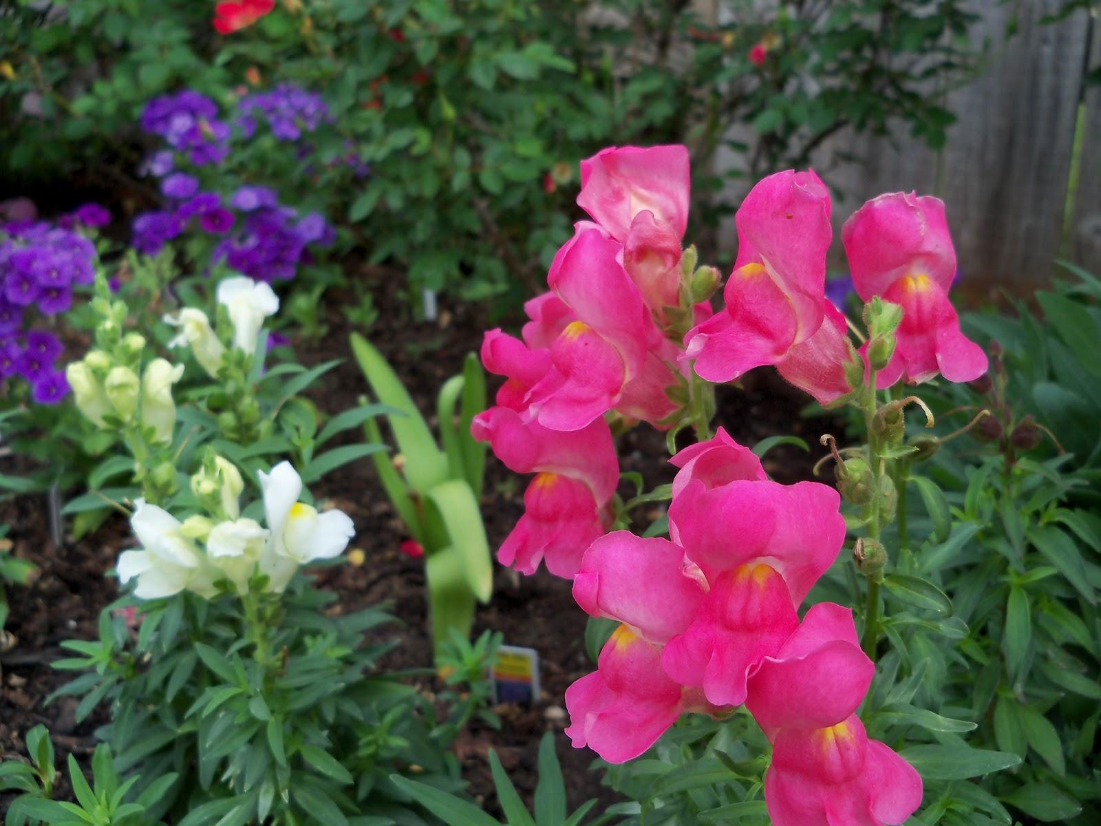 Gardening 2011 - 100_7141.JPG