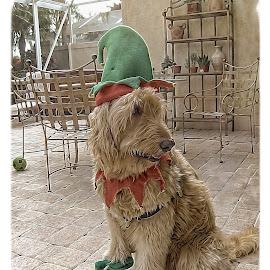 Bogey The Elf by Sandy Friedkin - Animals - Dogs Portraits ( goldendoodle, dog, costume, elf,  )