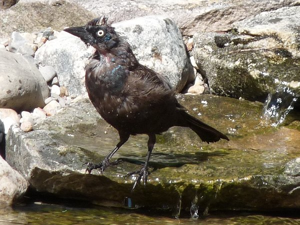female grackle bathing beauty