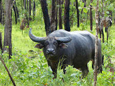 This old bull has heaps of character, probably 16 years old. This is a real trophy animal. Note the greenery due to the wet season.. my favourite time for buffalo hunting!