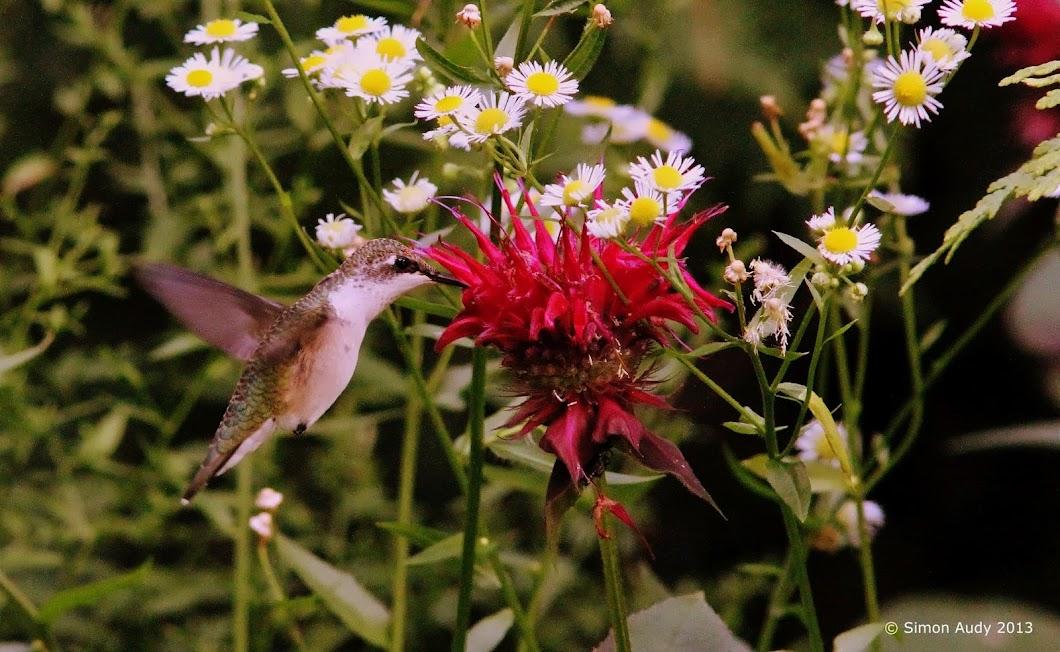 Colibri à gorge rubis femelle! IMG_4416