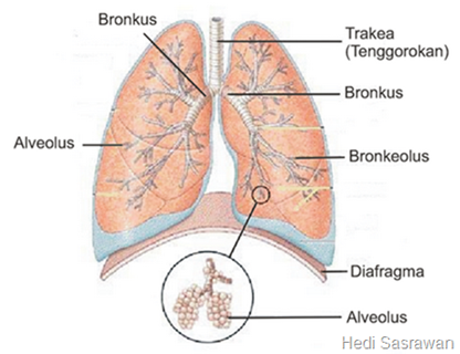 Bagian-bagian paru-paru manusia