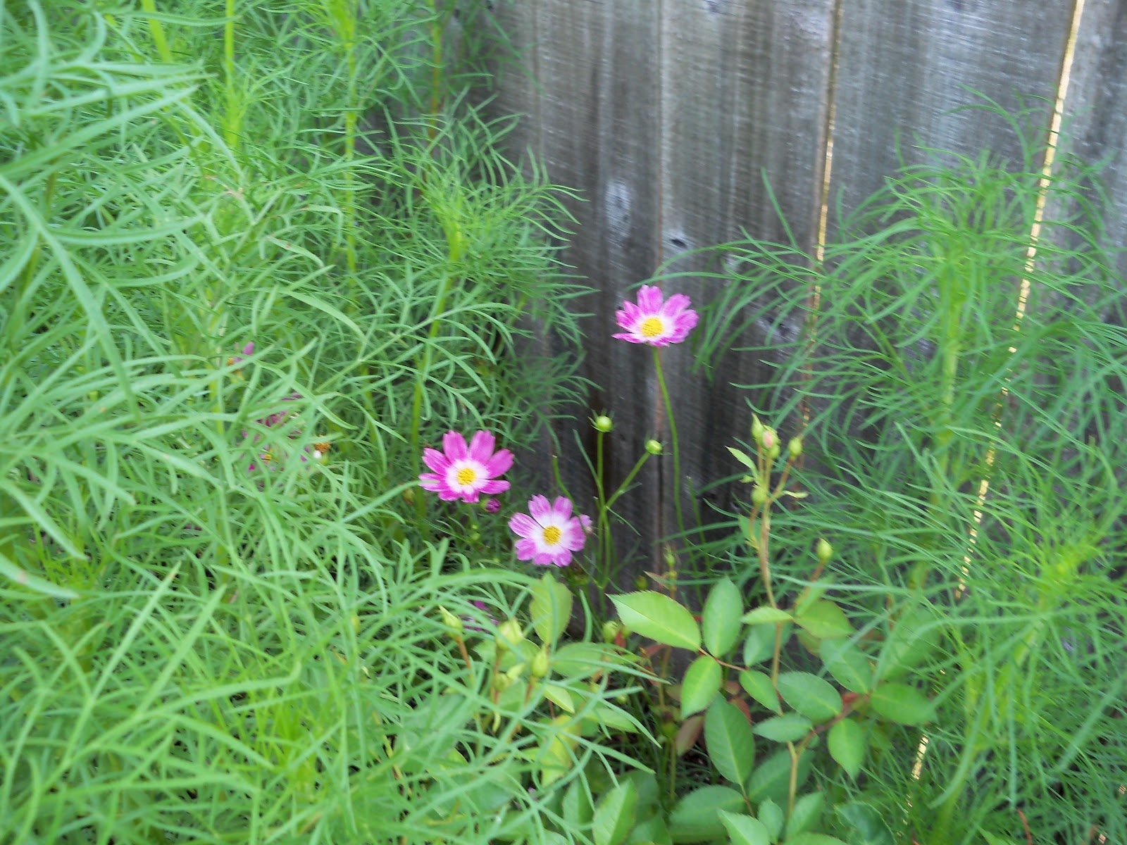 Gardening 2010, Part Two - 101_3276.JPG