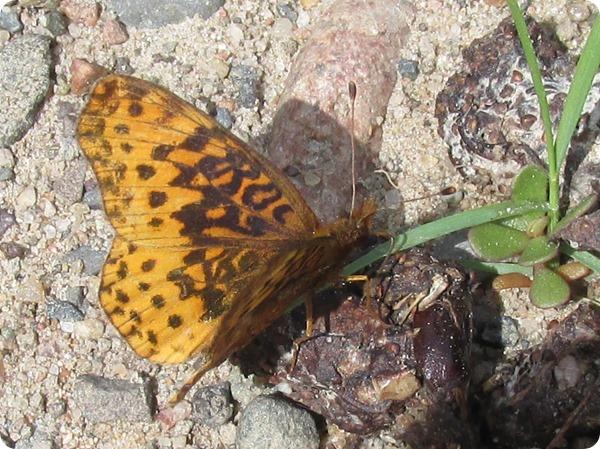 IMG_7570 Meadow Fritillary (Boloria bellona) Butterfly (12)