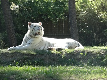 2017.06.17-062 tigre blanc