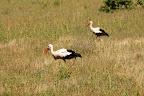 Vi ved godt, hvorfor storke er sjældne i Danmark - de har fundet ud af, hvor dejligt der er i Sydafrika (vi så flere hundrede).