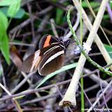 Heliconius erato phyllis (FABRICIUS, 1775). Pitangui (MG, Brésil), 13 mars 2011. Photo : Nicodemos Rosa