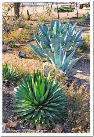 151229_Tucson_GregStarr_Agave-horrida-perotensis_0001